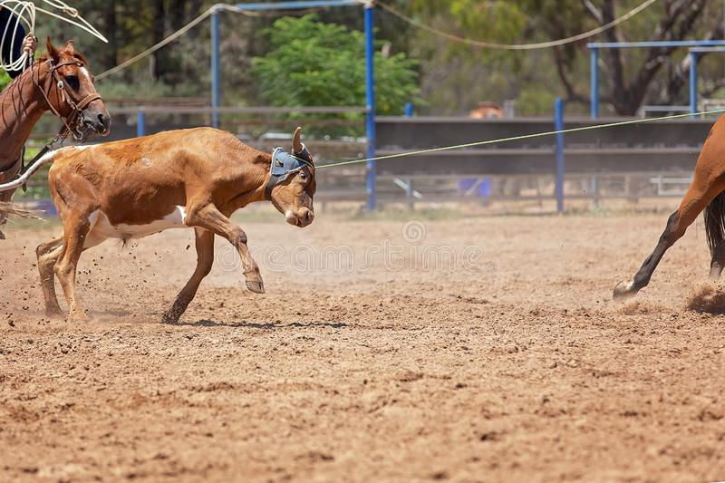 在澳大利亚圈地的小牛绕绳竞争 免版税库存图片