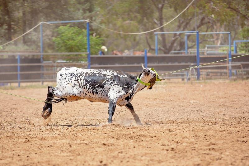 在澳大利亚圈地的小牛绕绳竞争 图库摄影