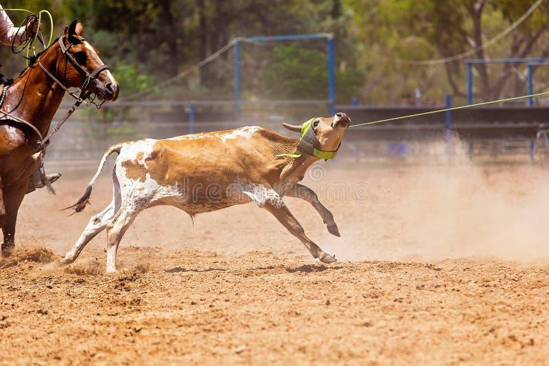 在澳大利亚圈地的小牛绕绳竞争 库存照片