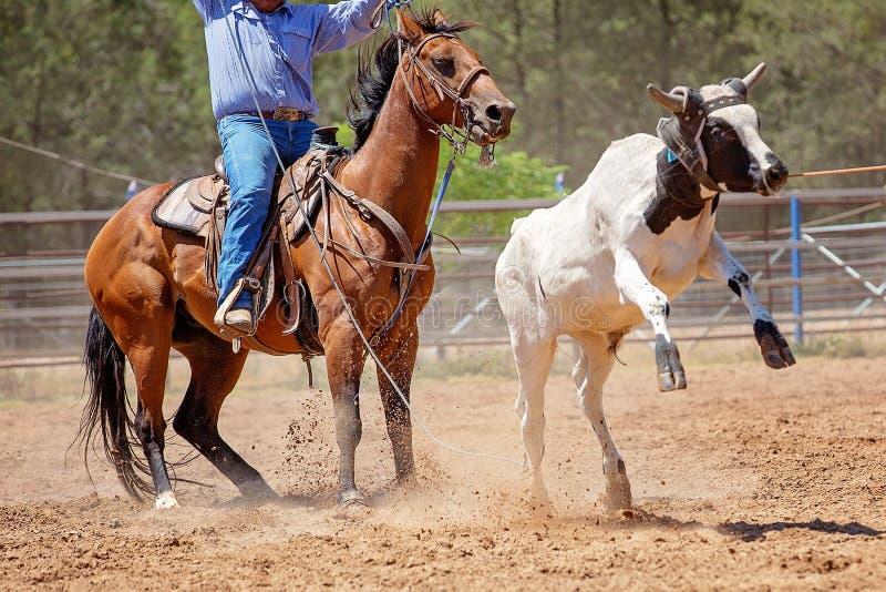 在澳大利亚圈地的小牛绕绳竞争 库存图片