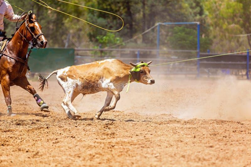 在澳大利亚圈地的小牛绕绳竞争 免版税图库摄影