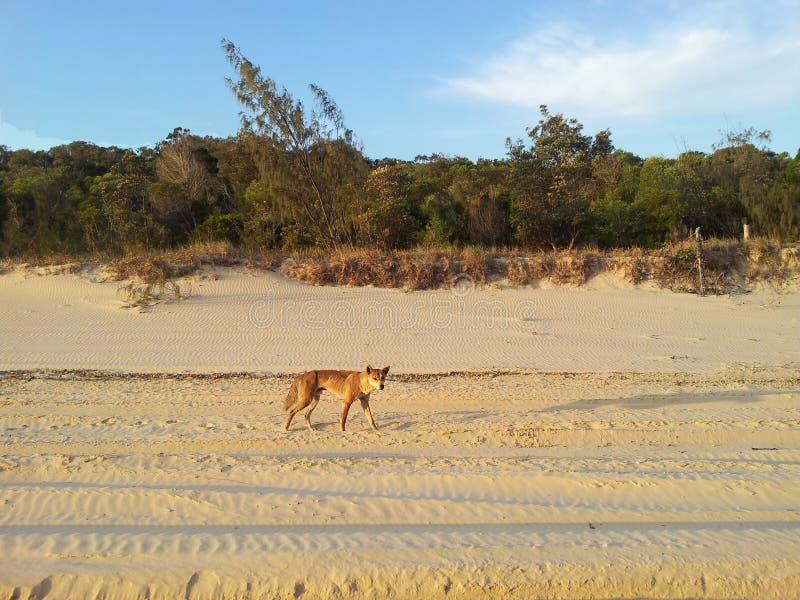 在澳大利亚找到的豺狗 库存照片