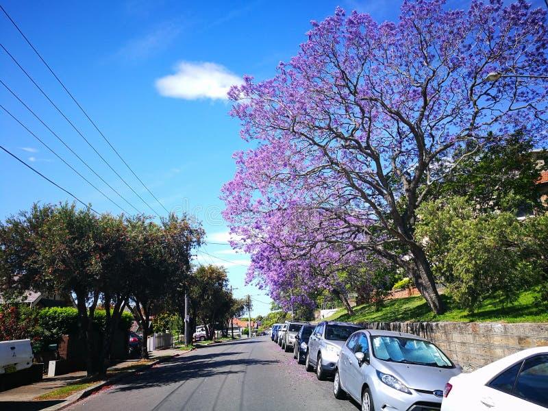 在澳大利亚的春季的开花的紫色兰花楹属植物mimosifolia花Arncliffe的,驻地街道 免版税图库摄影