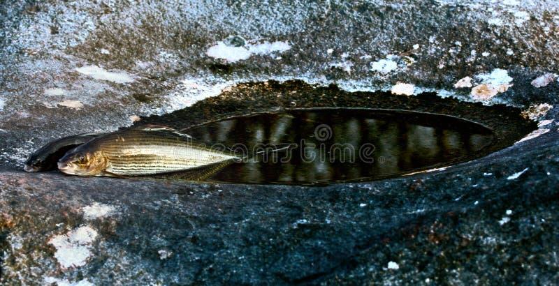 在瀑布和石头大锅的冬天渔有河鳟的 图库摄影