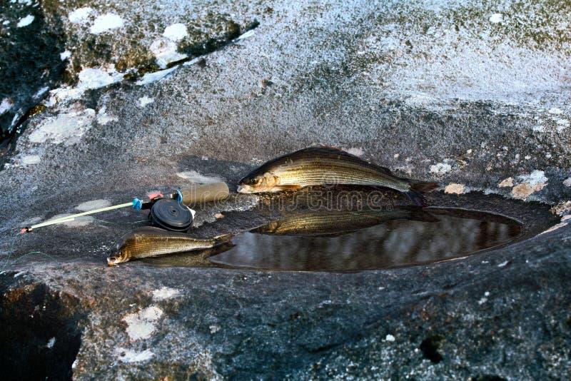 在瀑布和石头大锅的冬天渔有河鳟的 免版税库存照片