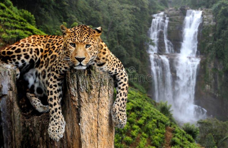 在瀑布背景的豹子 免版税库存图片