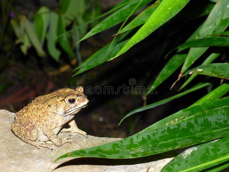 在灌木下的青蛙 免版税库存照片