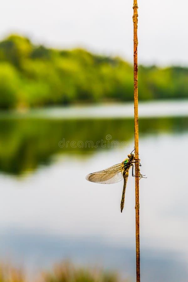 在灌木分支有壮观的湖反射背景的蜻蜓 库存图片
