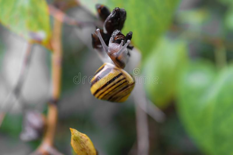 在灌木分支的黄色树丛蜗牛爬行 在蜗牛头的主要照相机焦点 免版税库存照片