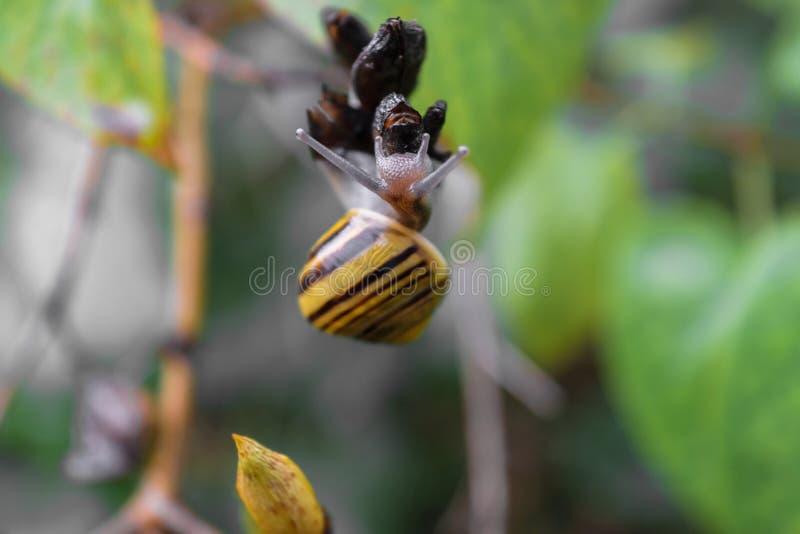 在灌木分支的黄色树丛蜗牛爬行 在蜗牛头的主要照相机焦点 免版税库存图片