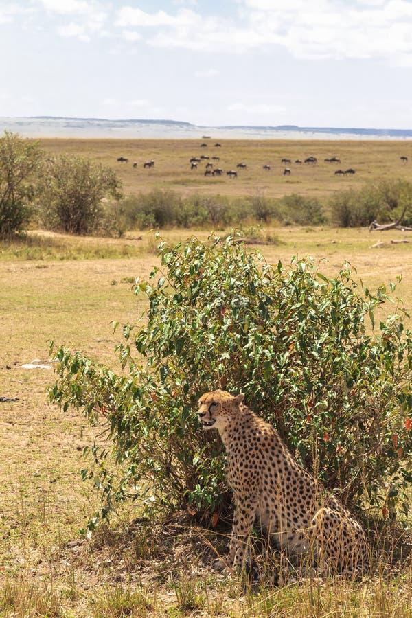 在灌木后的一头大猎豹 马塞语玛拉,肯尼亚大草原  库存照片