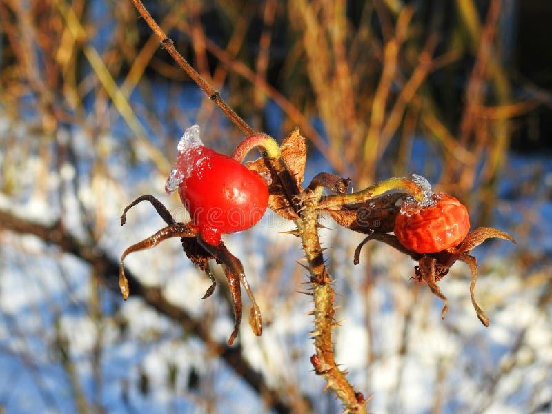 在灌木在冬天,立陶宛的红色刺莓果 免版税库存照片