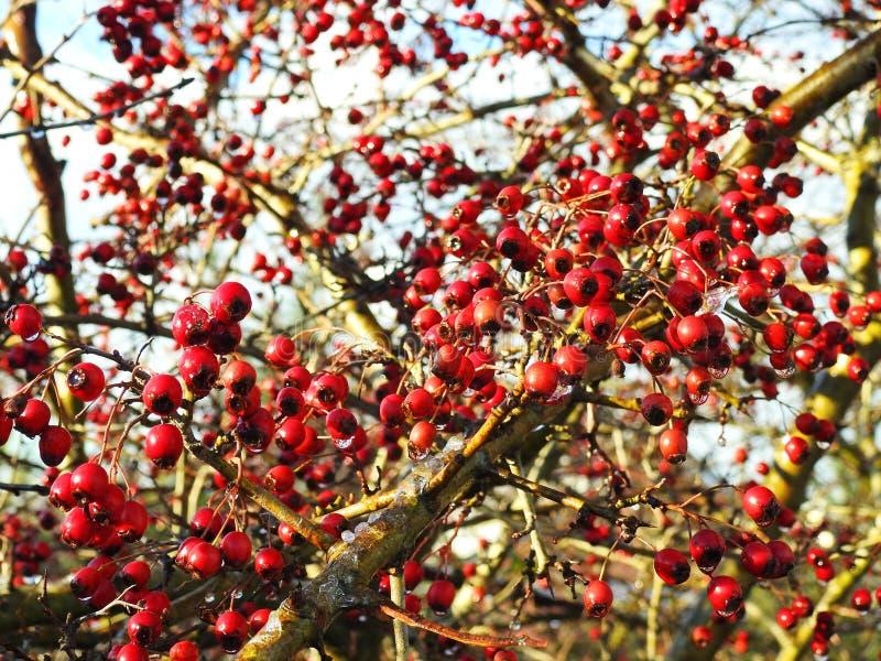 在灌木在冬天,立陶宛的红色howthorn莓果 图库摄影