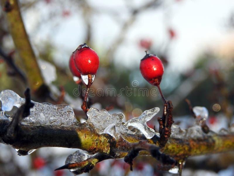 在灌木在冬天,立陶宛的红色howthorn莓果 免版税库存图片
