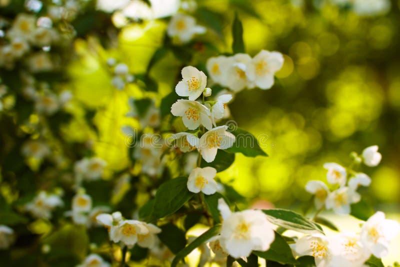 在灌木开花的白色茉莉花花 免版税库存照片