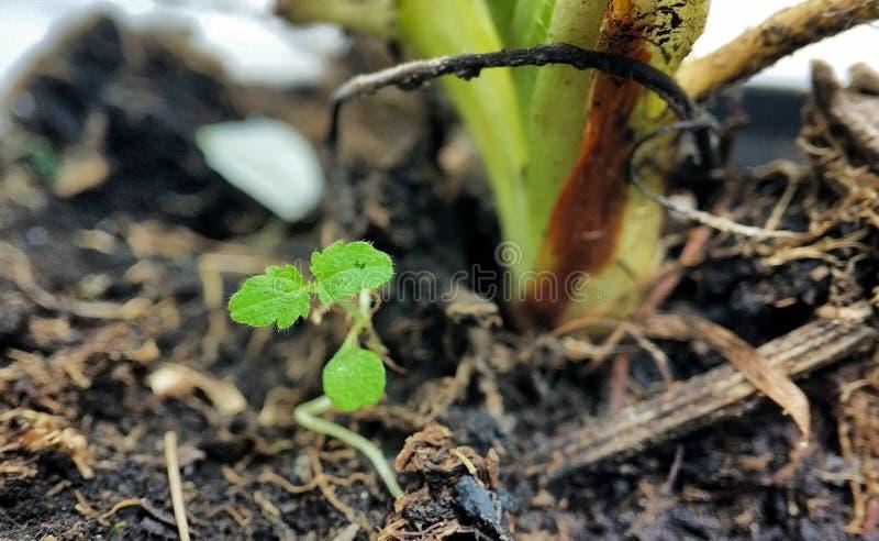 在灌木特写镜头旁边的年轻绿色草莓新芽 库存照片