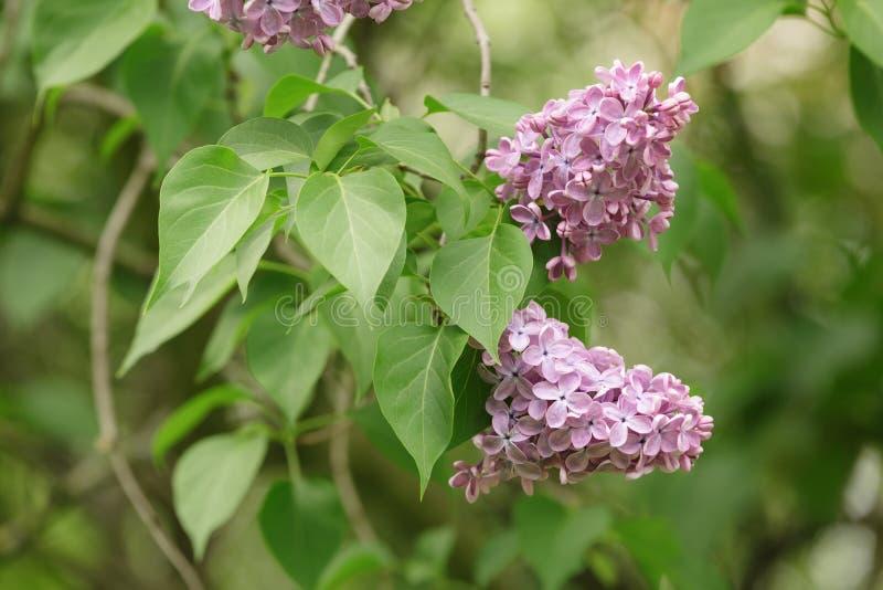 在灌木特写镜头的紫色淡紫色花 免版税库存照片