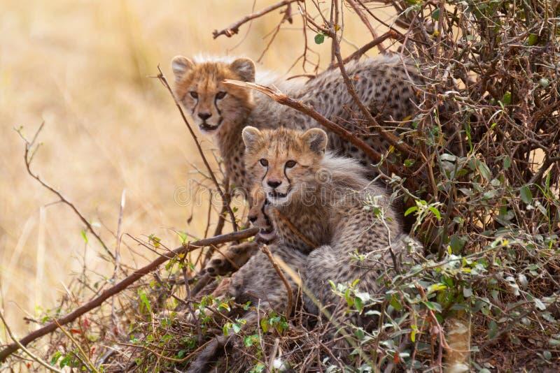 在灌木的三猎豹崽 库存照片