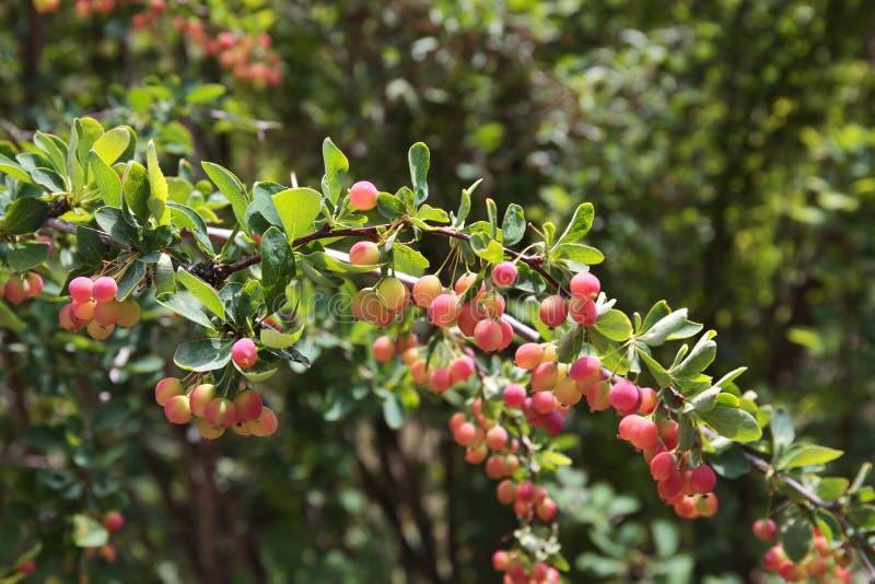 在灌木的伏牛花莓果 库存照片