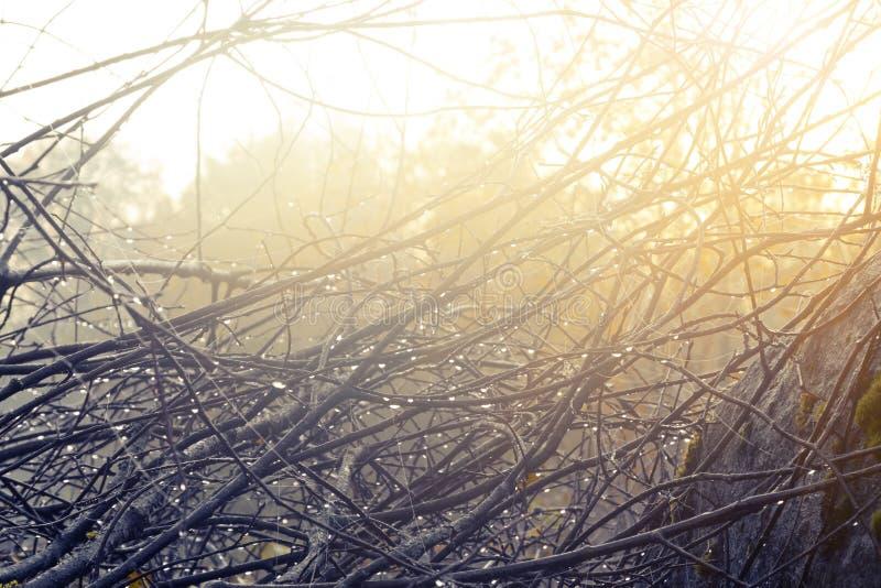 在灌木的分支的露滴在日出的 库存照片