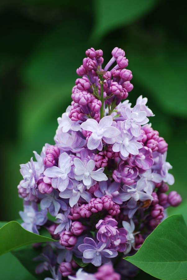 在灌木的多彩多姿的淡紫色束在Lilacia公园, Lisle,伊利诺伊 图库摄影