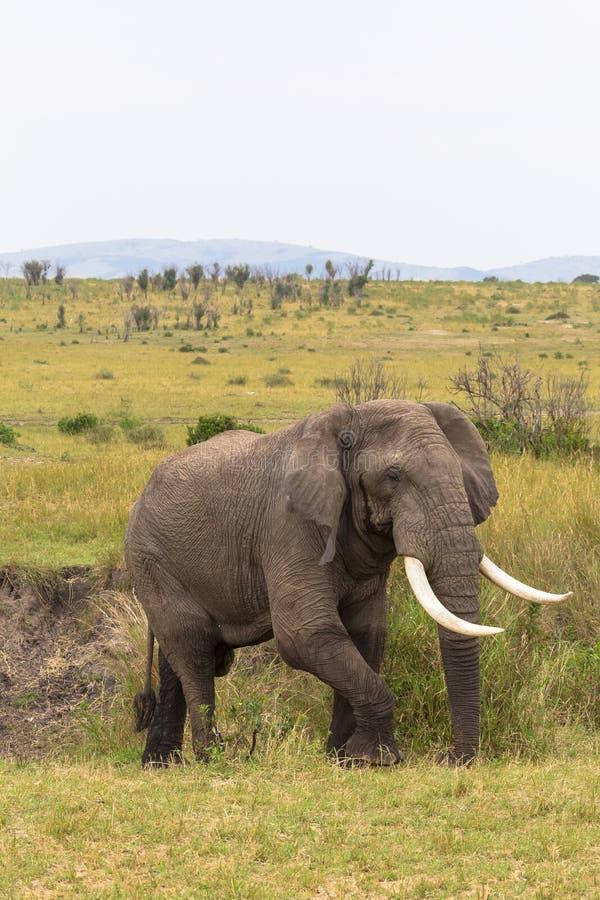 在灌木的大大象 mara马塞语 库存图片