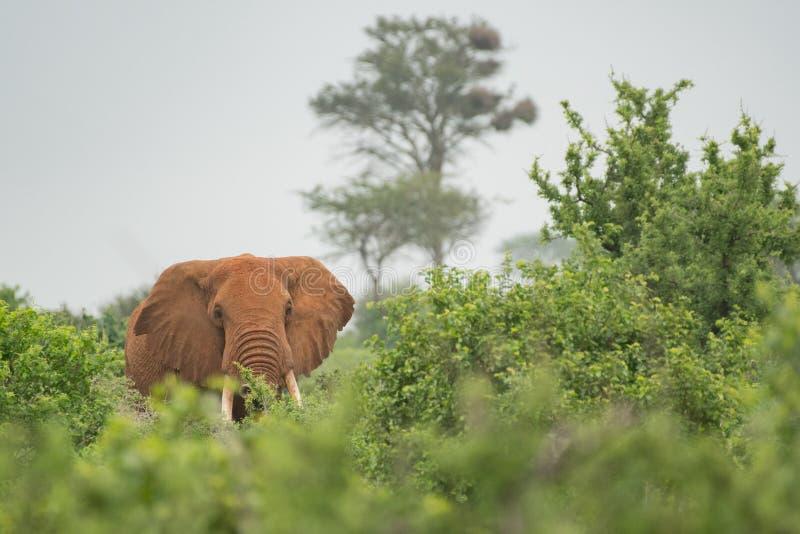 在灌木的大象在肯尼亚 库存照片