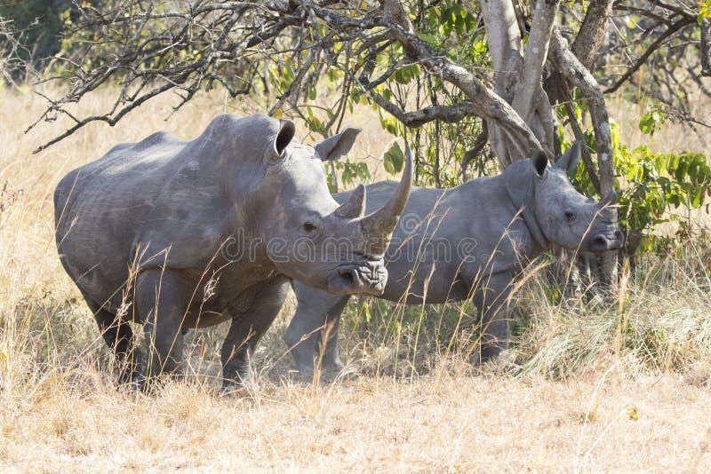 在灌木的女性和崽北白色犀牛 库存照片