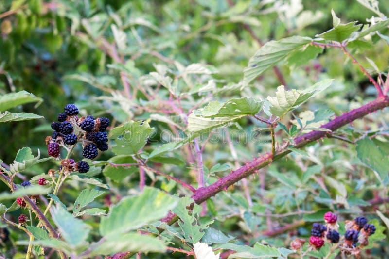 在灌木的成熟和未成熟的黑莓与选择聚焦 黑莓的Buch 背景浆果鼠李关闭海运 库存图片