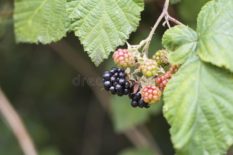 在灌木的成熟和未成熟的黑莓与选择聚焦 库存图片