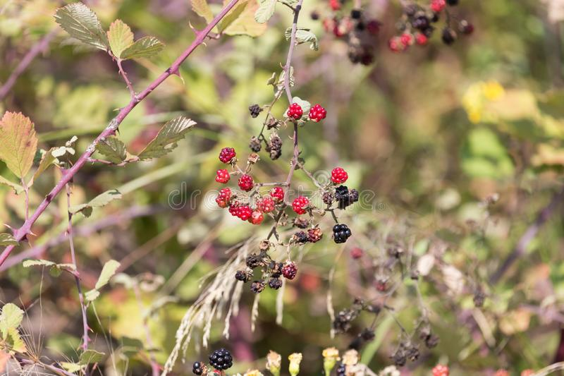 在灌木的新鲜的红色和黑黑莓 选择聚焦 免版税图库摄影