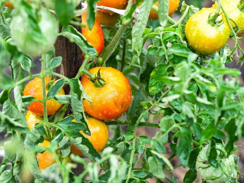 在灌木的湿蕃茄特写镜头在庭院里在雨中 免版税库存图片