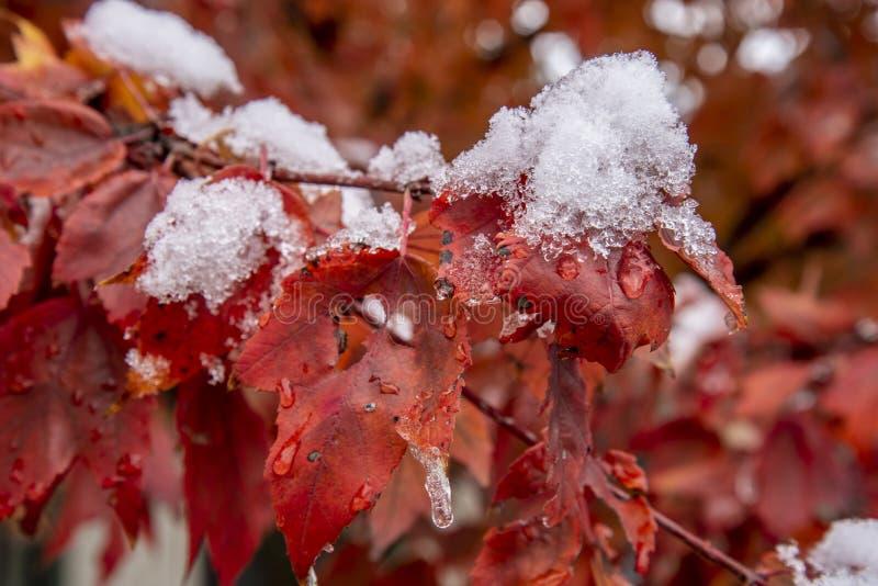 在灌木的第一冬天雪与红色叶子 免版税库存照片