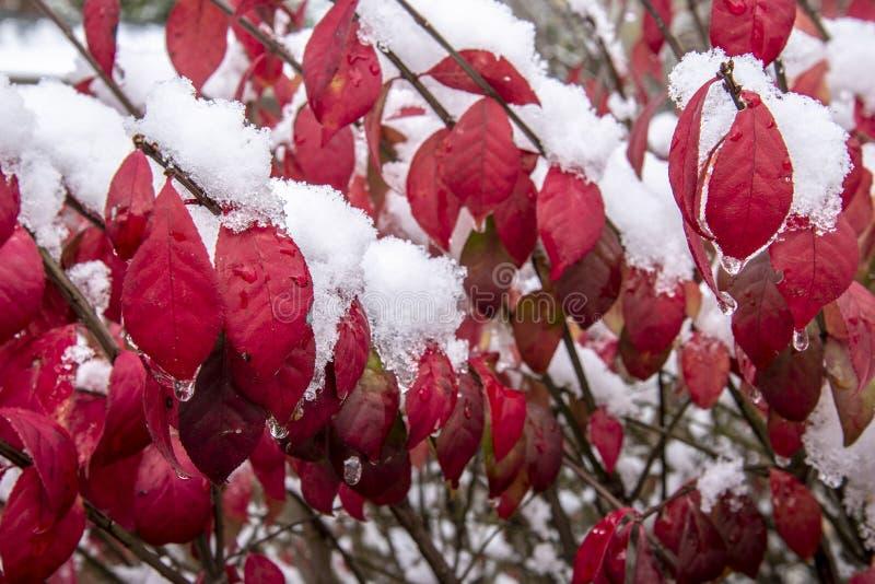在灌木的第一冬天雪与红色叶子 免版税库存图片