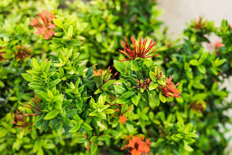 Download 在灌木的红色花 库存图片. 图片 包括有 多米尼加共和国, 公园, 绿色, 灌木, 叶子, 绽放, 花束 - 72355157