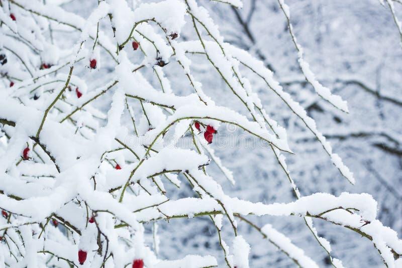 在灌木的红色野玫瑰果莓果在雪 罗莎canina植物 库存照片