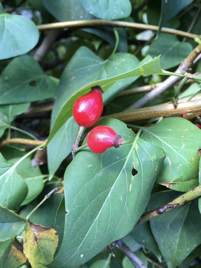 在灌木的红色野玫瑰果莓果 免版税库存图片