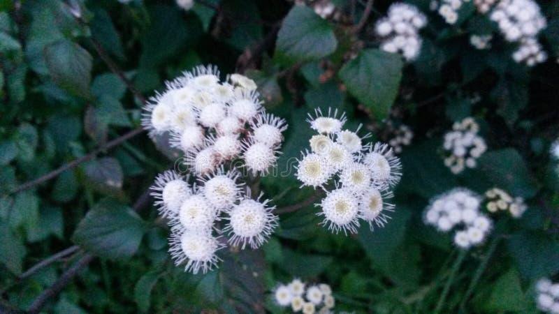 在灌木的美丽的微小的白花 免版税库存照片