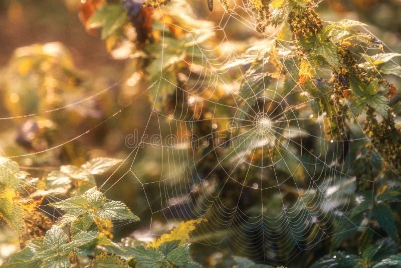 在灌木的蜘蛛在日落光芒  免版税库存照片