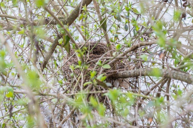 在灌木的被放弃的鸟的巢在春天,德国 库存照片