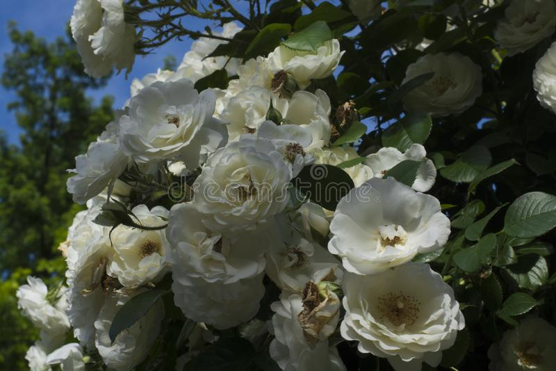 在灌木的许多玫瑰在天空蔚蓝 免版税库存照片