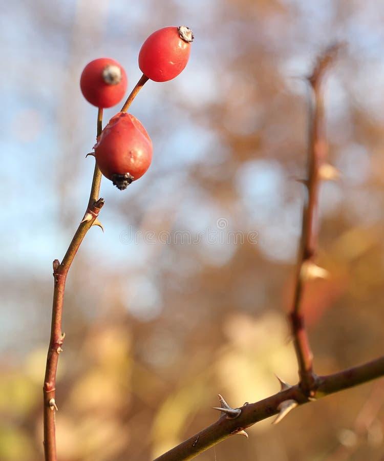 在灌木的野玫瑰果 免版税库存图片