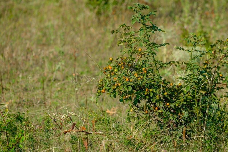 在灌木的野生野玫瑰果莓果在一个领域在夏天在阳光下 库存照片