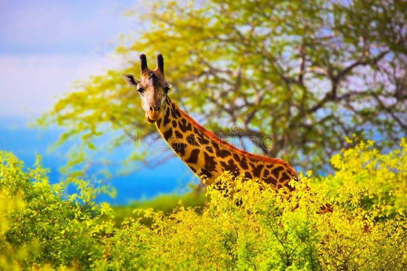 在灌木的长颈鹿。 徒步旅行队在西部的Tsavo,肯尼亚,非洲 免版税库存图片