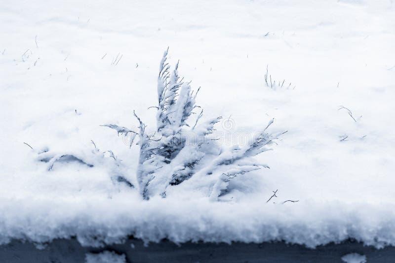 在灌木的雪 免版税图库摄影