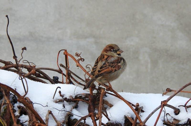 在灌木的麻雀鸟在冬天,立陶宛 免版税库存照片
