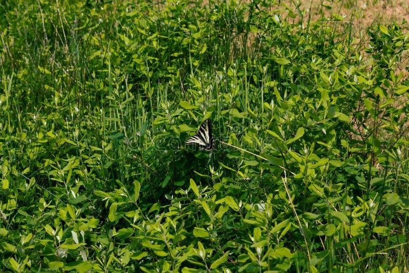 在灌木的黄色swallowtail蝴蝶 库存图片