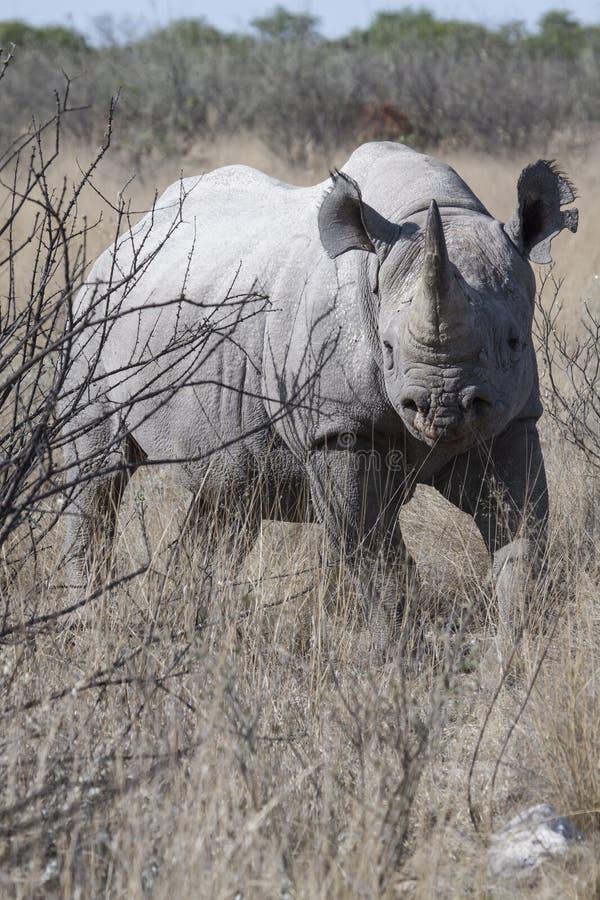 在灌木的黑犀牛 图库摄影