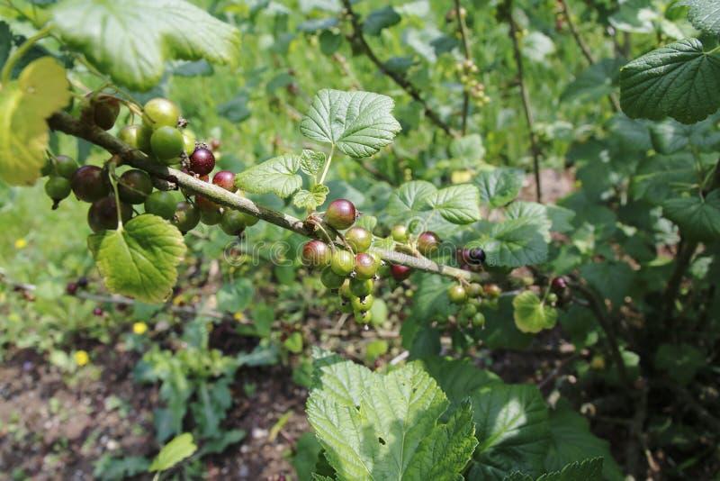 在灌木的黑醋栗成长阶段 库存照片