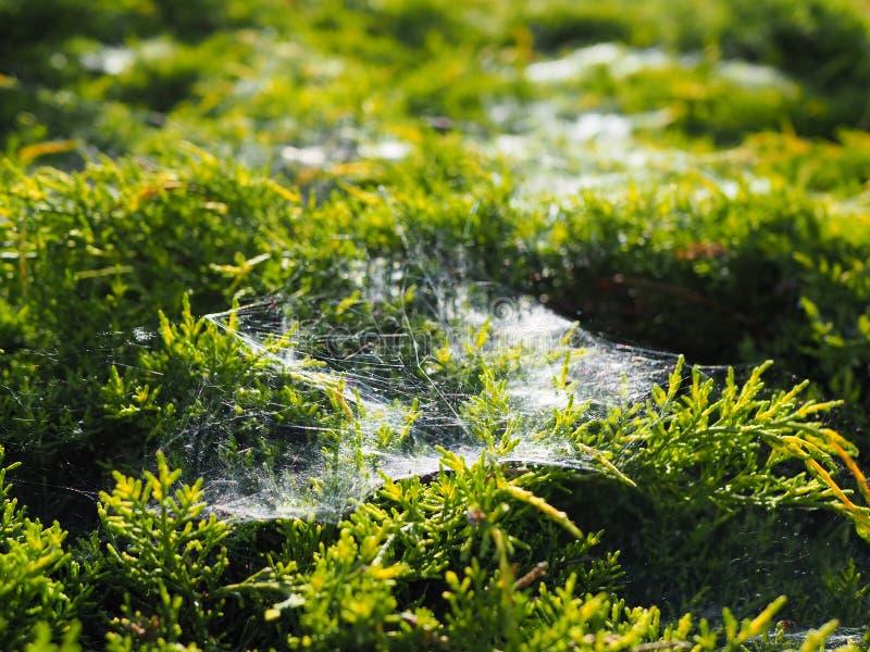 在灌木的Spiderweb 免版税库存照片